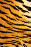 Texture of tiger skin Stock Images