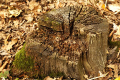 Texture timber tree stump Stock Photo
