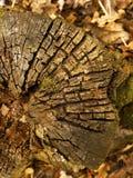 Texture timber tree stump Stock Images