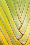 Texture of Traveller's tree or Banana Fan Royalty Free Stock Photo