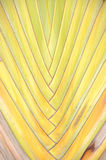 Texture of Traveller's tree or Banana Fan Royalty Free Stock Images