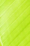 Texture of  tree. Line of leaves banana tree Stock Photos