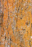 Texture of the tree. Orange colour rough Royalty Free Stock Image