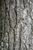 Texture of tree bark Stock Images