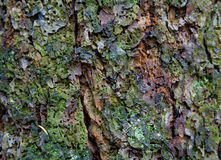Texture of tree bark Royalty Free Stock Photos