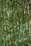 Texture of tree bark royalty free stock photo