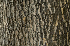 Texture of tree bark. Background texture of tree bark, Cracks skin of a tree that traces cracking Royalty Free Stock Image