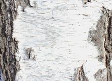 Texture of tree bark Royalty Free Stock Image