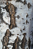 The texture of the tree bark of a birch. Black and brown cracks in the bark on a white background with stripes. Royalty Free Stock Photography