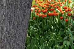 The texture of the tree bark on a blurred background of orange tulips stock image