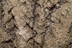 Texture of tree bark. Brown texture of tree bark Royalty Free Stock Photo