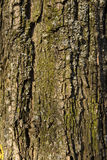 Texture tree bark Royalty Free Stock Image