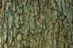 Texture of the tree bark in close up royalty free stock photo