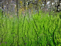 Texture of tree bark covered with  green mold. Royalty Free Stock Photos
