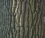 Texture of tree bark covered with green moss Stock Photography