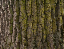 Texture of tree bark covered with green moss Royalty Free Stock Image