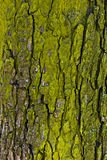 The texture of tree bark. The texture of tree bark, green Royalty Free Stock Images