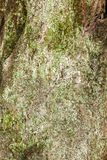 Texture of tree bark with moss as background. Royalty Free Stock Image