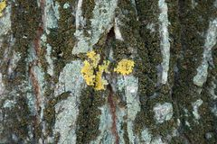 Texture of tree bark with moss and multicolored lichen. Texture of tree bark with dry moss and multicolored lichen Stock Image