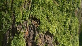 Texture of tree bark with moss Royalty Free Stock Images