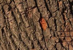 Texture of tree bark. Texture of oak tree bark Royalty Free Stock Photo