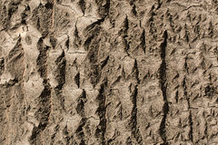 Texture of tree bark. The texture of tree bark oak Stock Photography