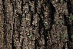 Texture of tree bark Royalty Free Stock Image