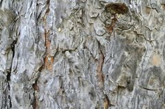 Texture tree bark pine. photo taken in the taiga. Royalty Free Stock Photography