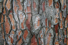 Texture of tree bark Royalty Free Stock Photography