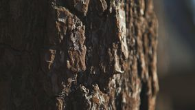 Texture of tree bark. Texture of brown tree bark. Large trunk. With rough bark of maritime pine. A tree trunk with a solid bark stock video footage
