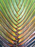 Close up pattern of leaf stalk of palm tree (traveller's palm or ravenala madagascariensis or banana fan). Abstract nature background Stock Photo