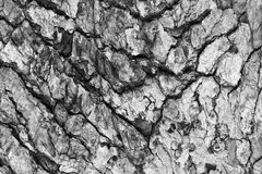Texture of tree Royalty Free Stock Photo