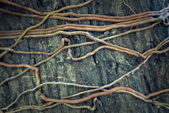 Texture Tree Root. On big tree Stock Images