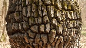 The texture of the tree`s crust with a deep pattern. Stock Image