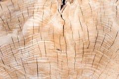 Texture of tree stump Royalty Free Stock Image