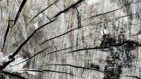 Wood texture of cut tree trunk, close-up. royalty free stock photography