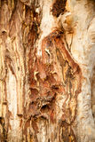 Texture of tree trunk Royalty Free Stock Images
