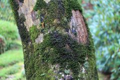 Texture of tree trunk with lichen moss and background green tree. Pattern of tree bark with thallophytic plant and background out focus green tree Royalty Free Stock Photography