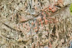 Texture tree trunk. A trunk is the main part of the stem of a tree, generally vertical and without branching, situated between the roots and the crown, supported stock image
