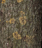 Texture of tree trunk. With patches moss Royalty Free Stock Photos
