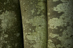 Texture on tree trunks Stock Photography