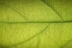 Texture of A Tropical Green Leaf Stock Image