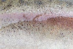 Texture of trout scale Royalty Free Stock Photography