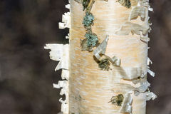 The texture of the trunk of a birch tree. Royalty Free Stock Photography