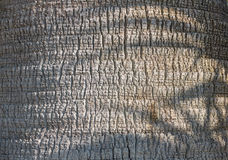 The texture of the trunk, palm trees on a sunny day Stock Photography