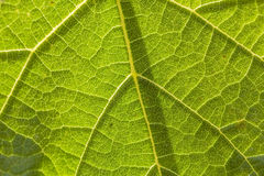 Texture of underside leaf of burdock, close-up Stock Images