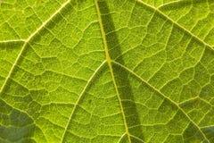 Texture of underside leaf of burdock, close-up Stock Images