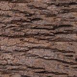 Texture - une écorce d'un vieux chêne Modèle en bois de fond d'arbre Photos libres de droits