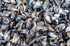 Texture of a variety of sea mussel shells royalty free stock photography