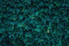 Texture vert-foncé de feuilles Photographie stock libre de droits